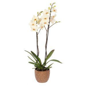 Orquídea blanca Odisea